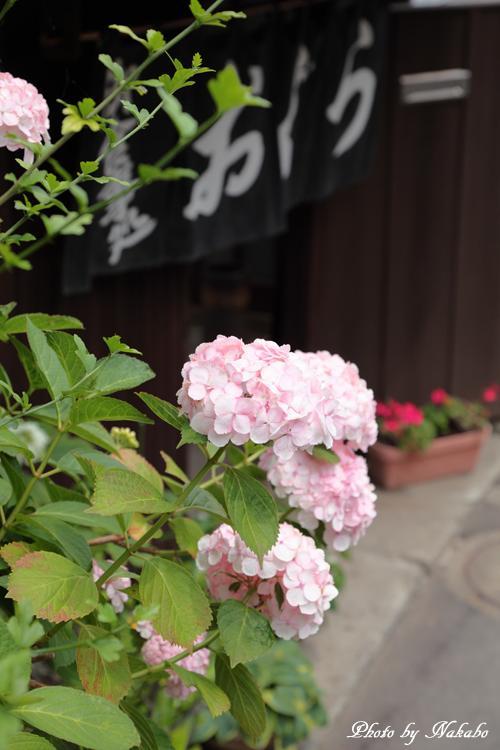 Kamakura_Ajisai_56.jpg