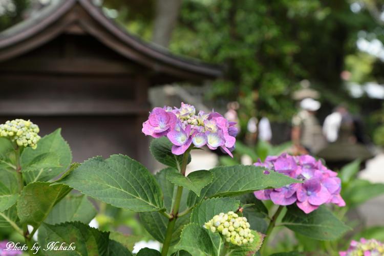 Kamakura_Ajisai_58.jpg