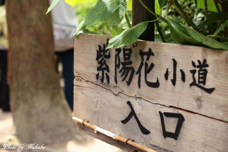 Kamakura_Ajisai_59.jpg