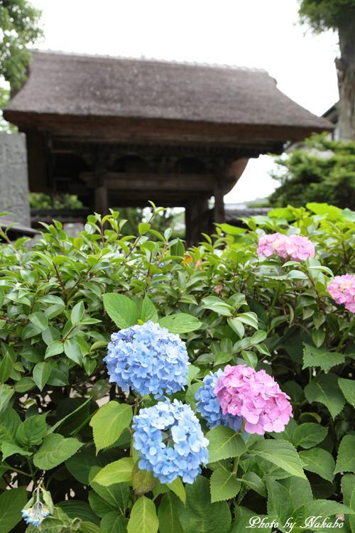 Kamakura_Ajisai_67.jpg