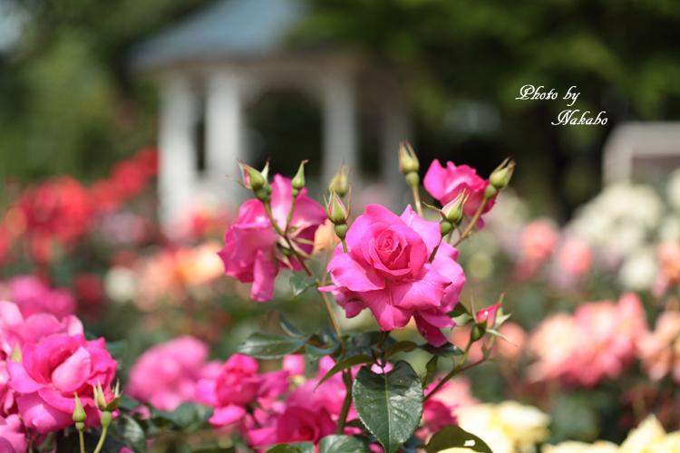 Minato_Rose_10.jpg