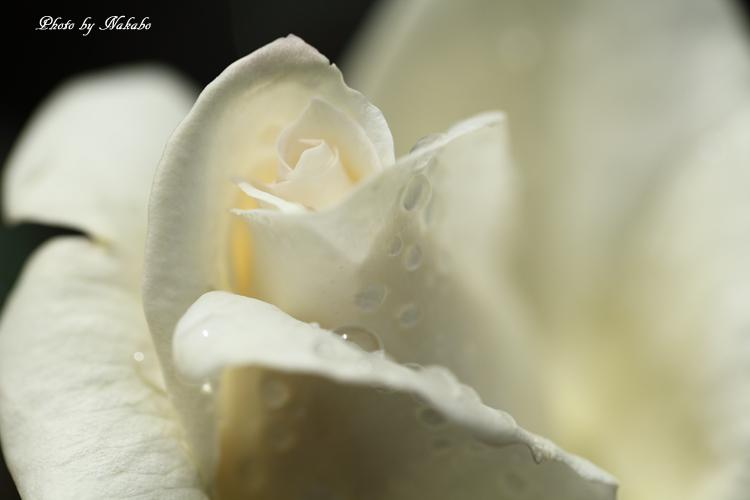 Minato_Rose_13.jpg