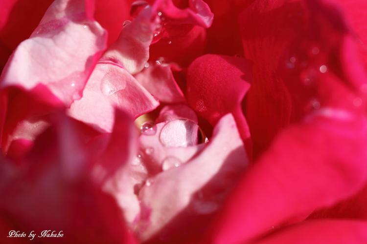 Minato_Rose_14.jpg