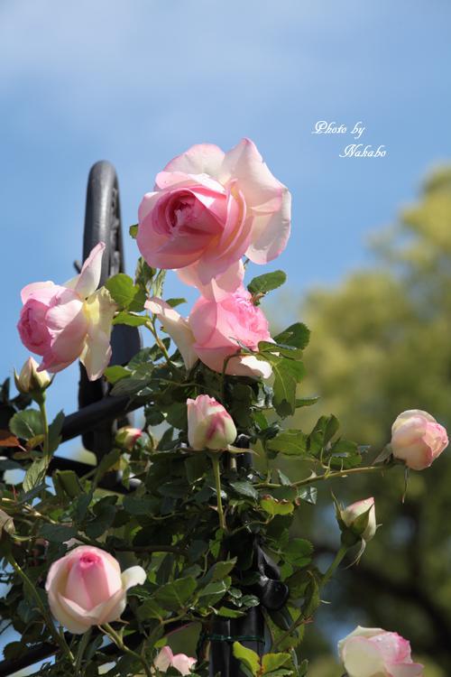 Minato_Rose_16.jpg