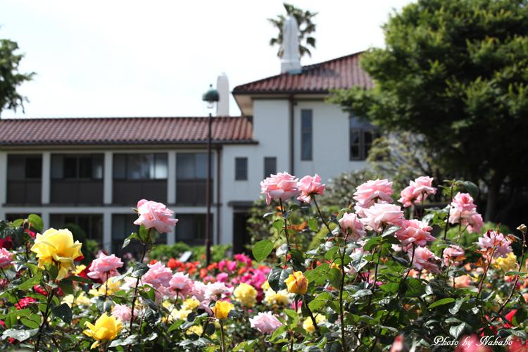 Minato_Rose_17.jpg
