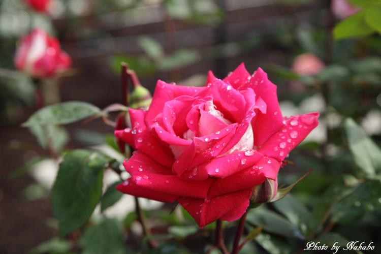 Minato_Rose_2.jpg