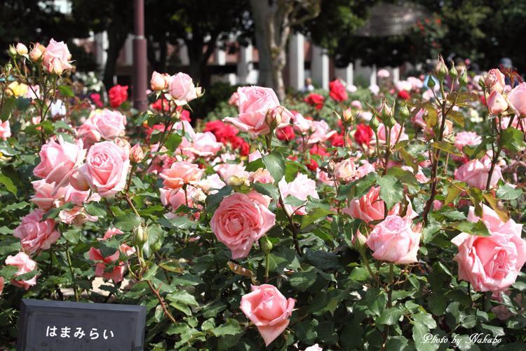 Minato_Rose_21.jpg