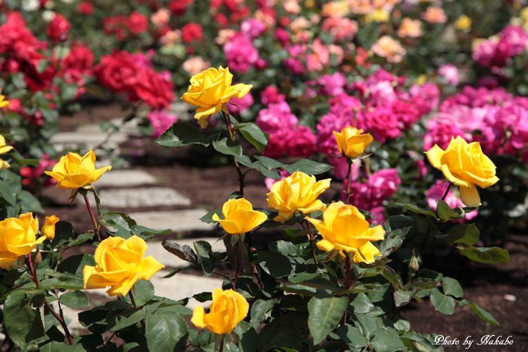Minato_Rose_26.jpg