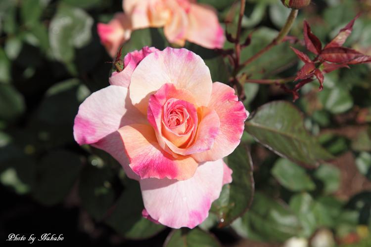 Minato_Rose_27.jpg