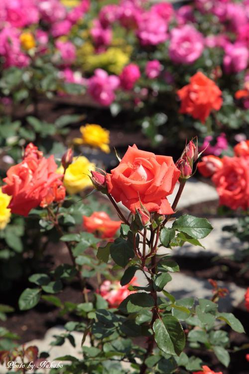 Minato_Rose_28.jpg