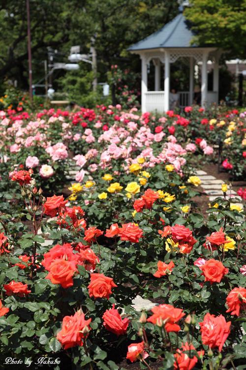 Minato_Rose_29.jpg