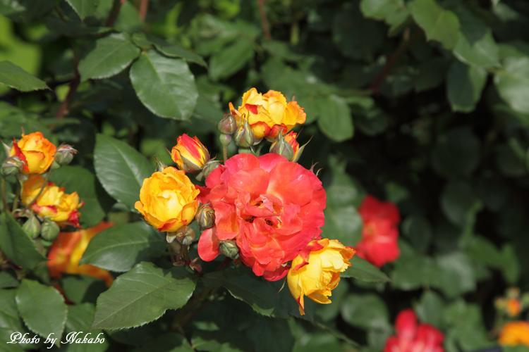Minato_Rose_3.jpg