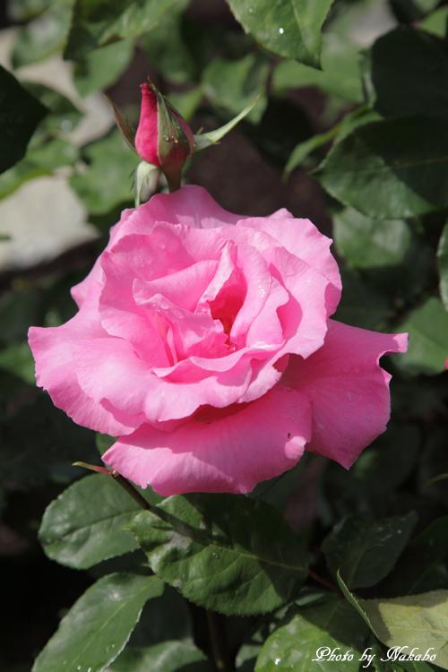 Minato_Rose_5.jpg