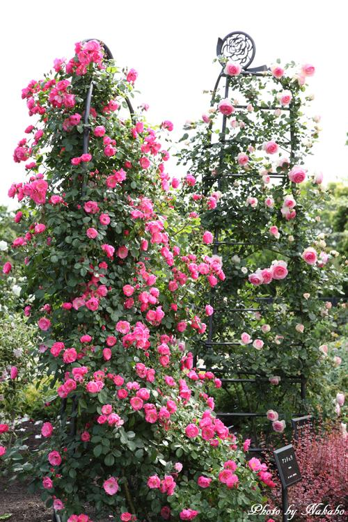 Minato_Rose_8.jpg