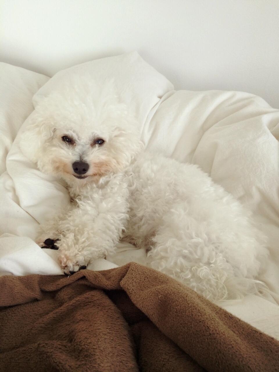 """Image result for 犬 bichon 私のベッドで眠っています"""""""