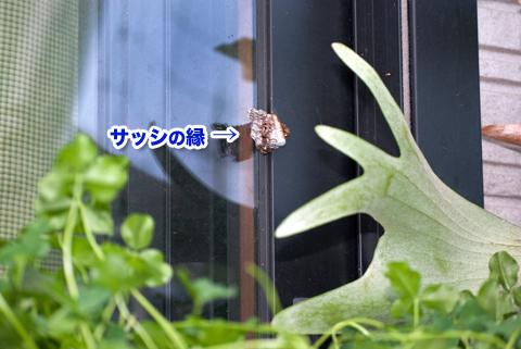 hachinosu1_060913