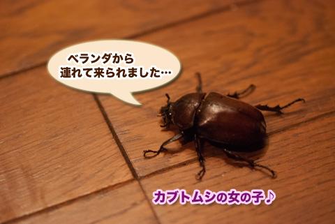 kabutomushi1_081013