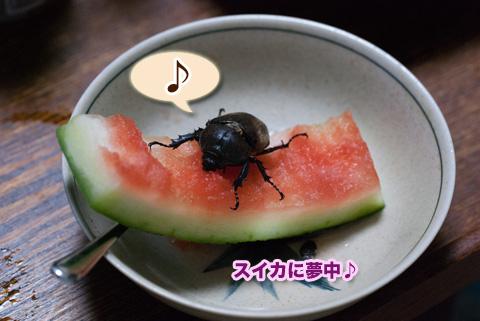kabutomushi2_081013