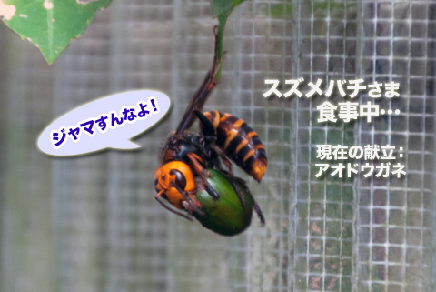 suzumebachi1_090113