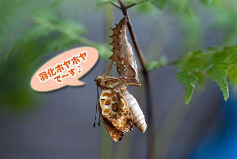 tsumaguro1_091413