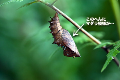tsumaguro_sanagi_091413