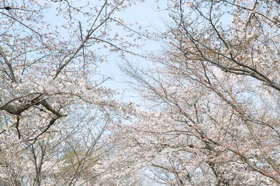 2013京都お花見