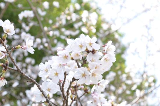 2013京都お花見2