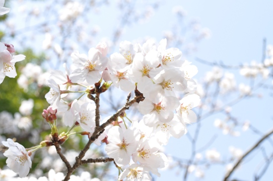 2013京都お花見3