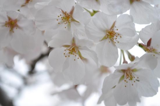 2013京都お花見8