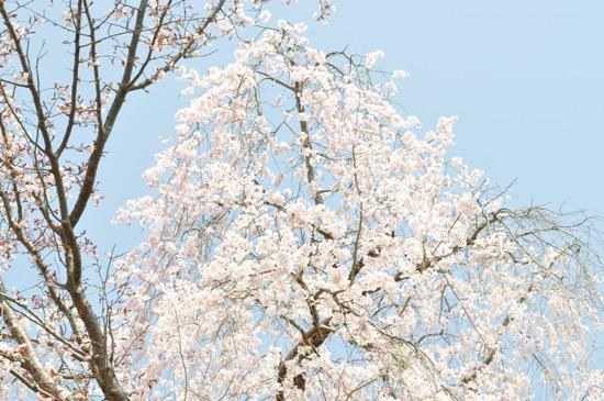 2013京都お花見1