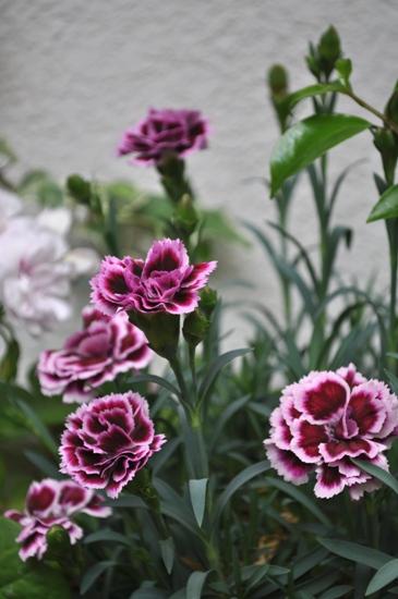 庭の花11