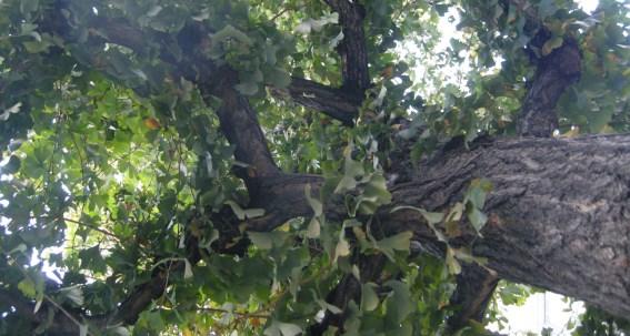567イチョウの木