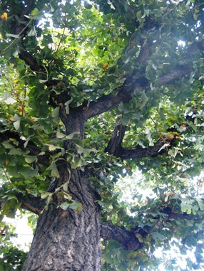koto-tree 286