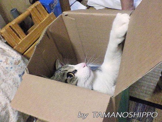 ダンボールで遊ぶ猫