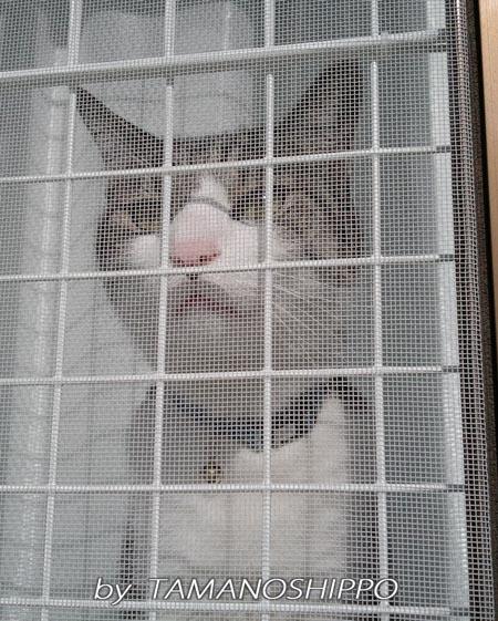 窓の中から懸命に鳴く猫