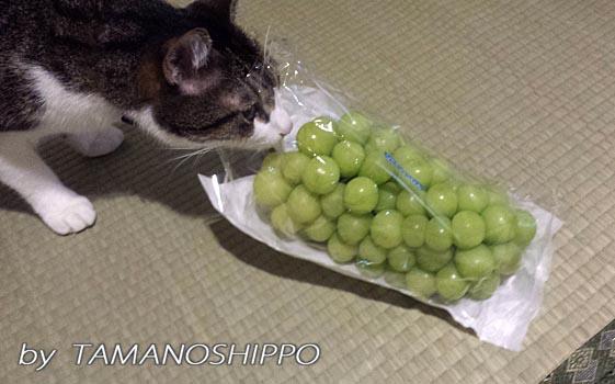 マスカットをクンクン、匂いをかぐ猫