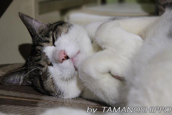 ぐっすり寝るネコ