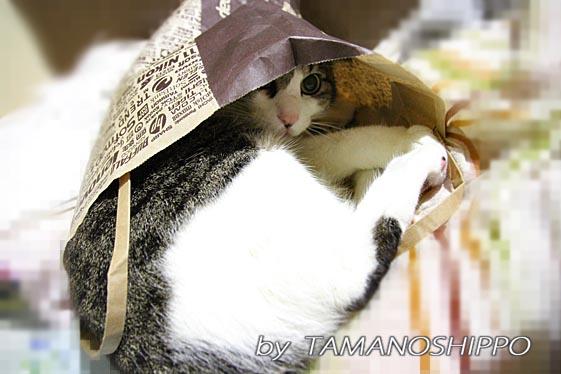 紙袋の中で落ち着く猫