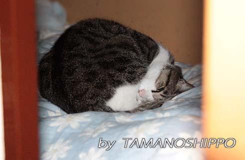 押入れで寝るネコ