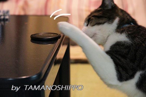 レンズキャップをおもちゃにする猫