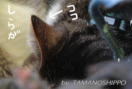猫の白髪(耳)