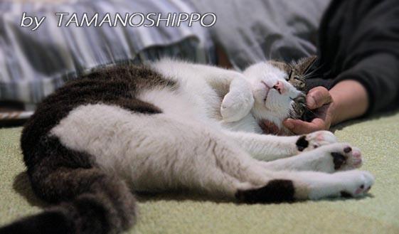 頭を撫でて欲しがる猫