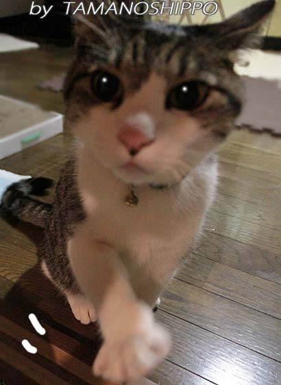 お手して待つ猫