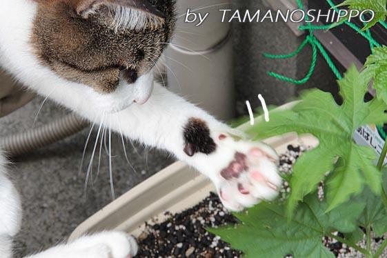 ゴーヤの葉で遊ぶ猫