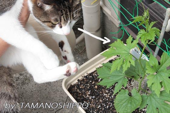 ゴーヤの苗を見る猫