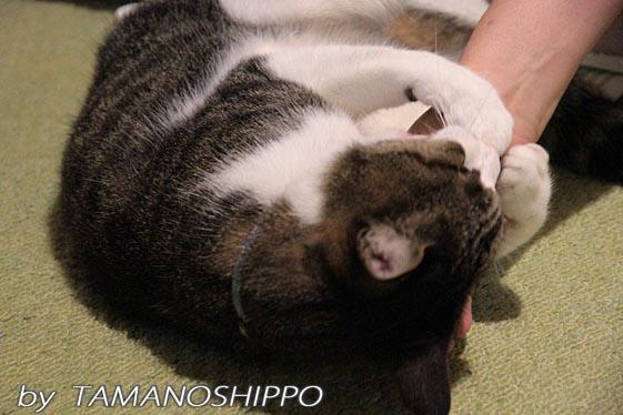手にじゃれる猫