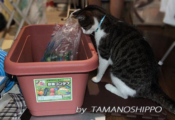 プランターをクンクンする猫