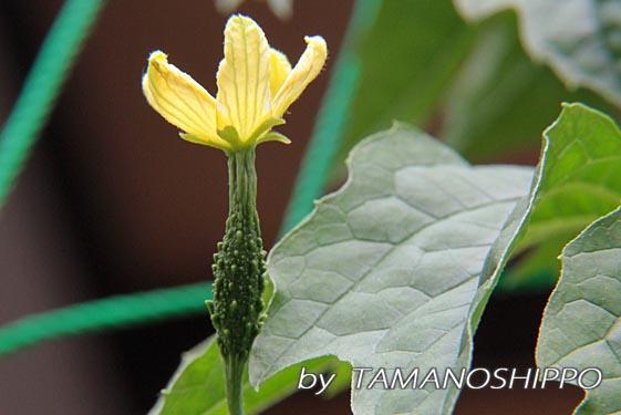 ゴーヤの雌花(開花)