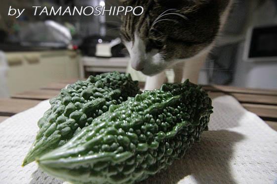 ゴーヤをクンクンする猫