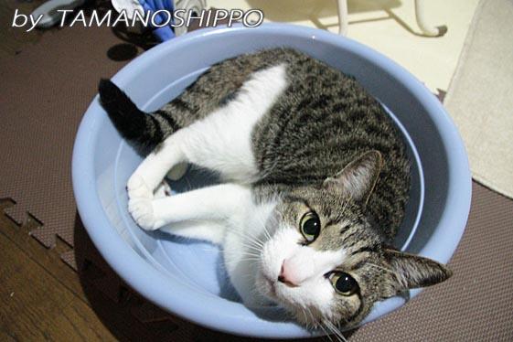 ネコ鍋ならぬ タライ猫6322